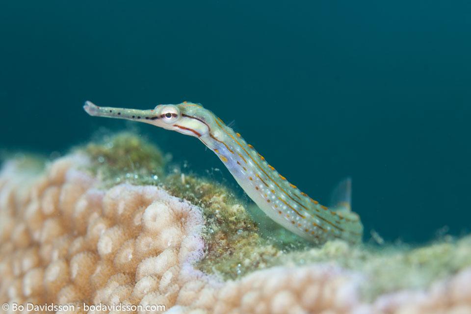 BD-121129-Aqaba-7675-Corythoichthys-schultzi.-Herald.-1953-[Schultz's-pipefish].jpg